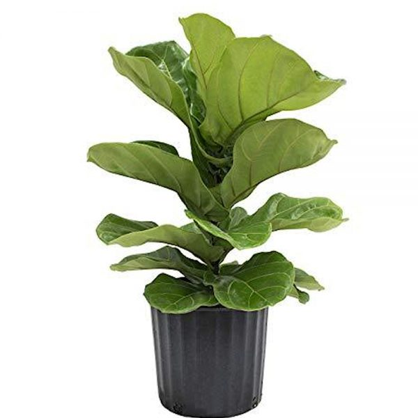 Wandin Florists Fiddle Leaf Fig