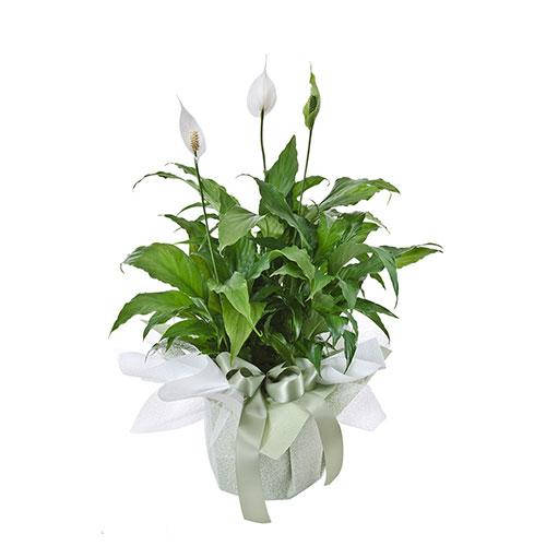 Wandin Florist Madonna Lilly Indoor Plant
